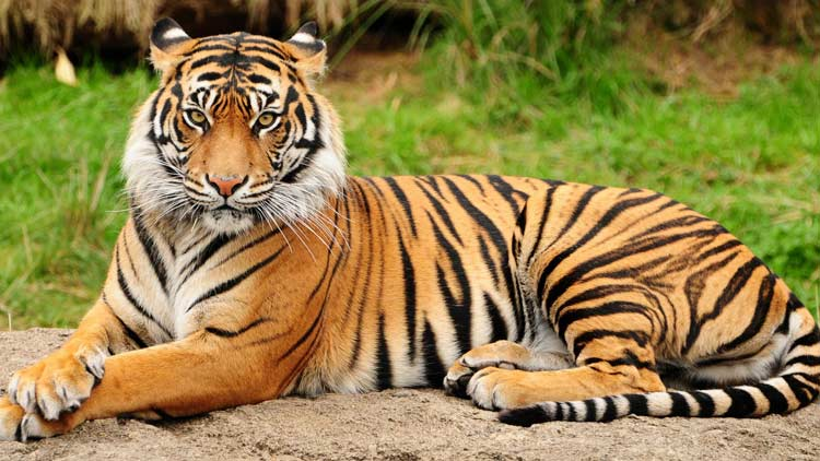 Tigertige
