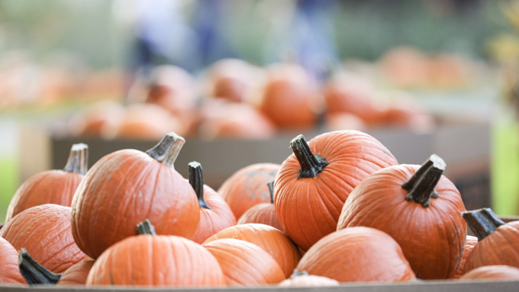 Four Indy Pumpkin Patches