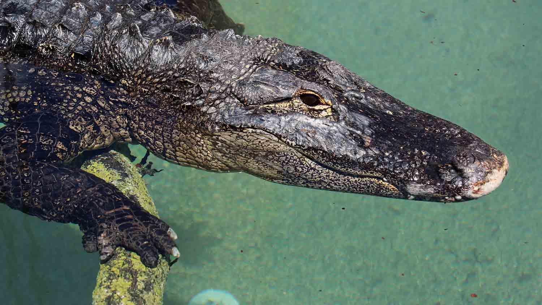 Alligators & Crocodiles - The Fight to Survive 1